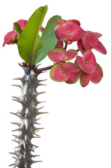 A Beautiful Bunch of Euphorbia Isolated