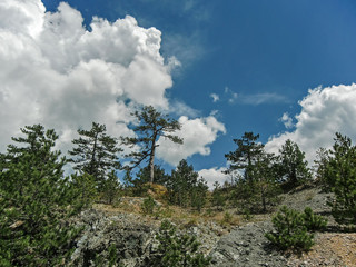 Pine trees on the slope