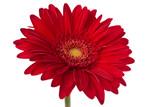 Fresh Gerbera flower.