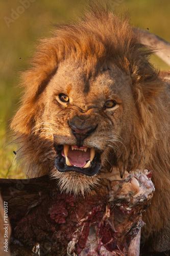 Deurstickers Zebra lion