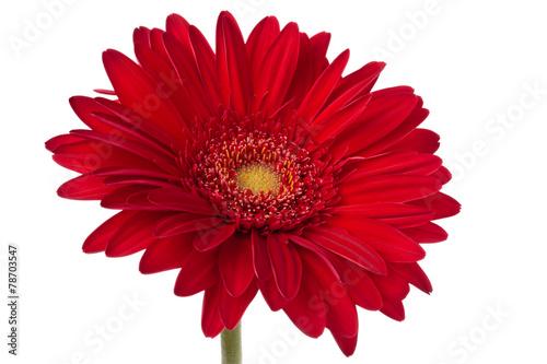 Foto op Plexiglas Gerbera Fresh Gerbera flower.