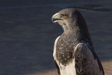 Aguila Escudada