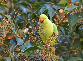 pappagallo con un ramo di bacche nel becco