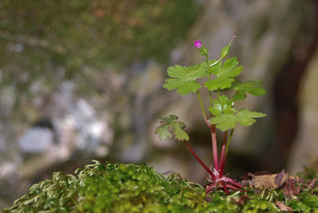 erba roberta (Geranium robertianum)