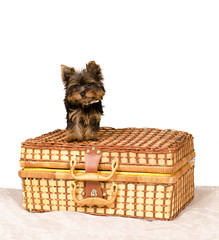 York Terrier on a suitcase on a white background