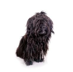 Schwarzer Wuschelhund