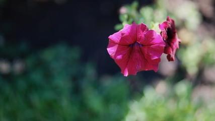 Fresh violet flower. Petunia.