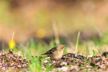 Female Chaffinch on the ground