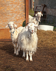 three curious goats