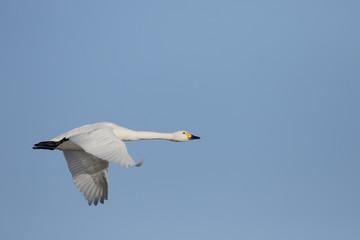 Bewicks swan, Cygnus bewickii