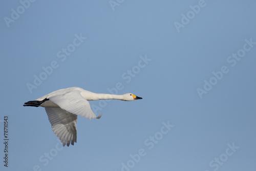 In de dag Zwaan Bewicks swan, Cygnus bewickii