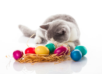 cat and easter eggs on white background.  funny british kitten w