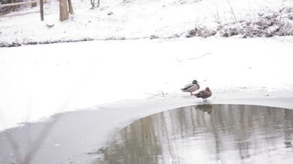 Ducks near pond