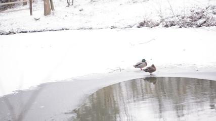 Ducks near pond