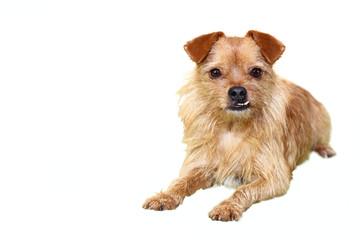 Kleiner Mischlingshund mit markantem Eckzahn