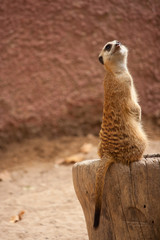 curious meercat on a tree