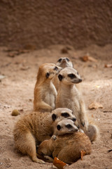 family of curious meercats