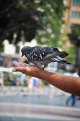 Feeding pigeons at arm's length