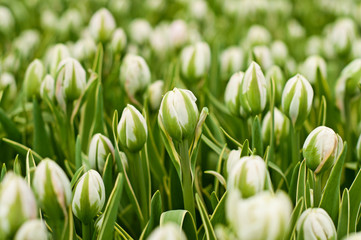Beautiful bud of tulips