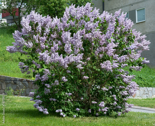 Foto op Canvas Lilac Lilacs blossoming on a bush, Sweden in May.