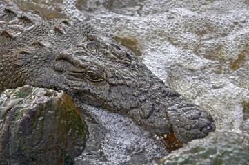 Coccodrillo - Seronera