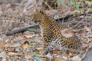 Leopard in forest