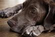 Chocolate labrador retriever laying down