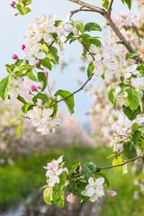 Blooming apple tree branch in spring garden