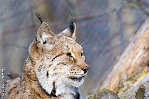 Staande foto Lynx Eurasian lynx (Lynx lynx)