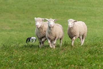Three Sheep Being Herded