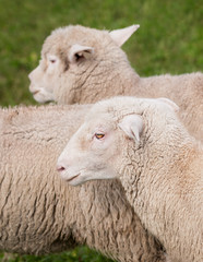 Sheep (Ovis aries) Running By