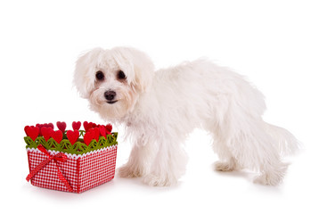 Weißer Hund vor Geschenkkorb