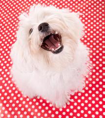 Kleiner weißer Hund reisst Maul auf