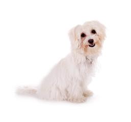 Sitzender weißer Hund