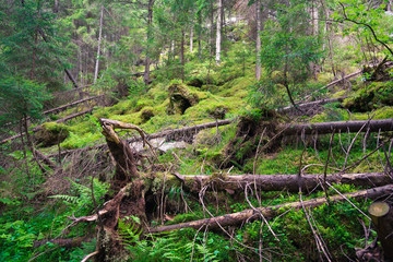 Old forest in the mountains with moss