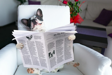 French bulldog reading newspaper on the armchair