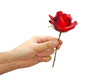 Red rose in hand isolated on white background. Valentines day