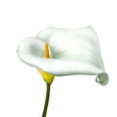 white calla lily isolated on a white background