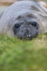 Antarctica Elephant seal on South Georgia