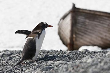 Antarctica gentoo penguin on Halfmoon Island