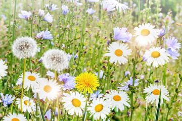 Summer landscape. Chamomile flowers and dandelions