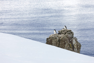 Antarctica chinstrap penguin colony on rock