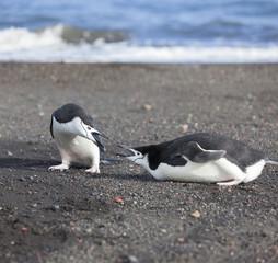 Antarctica chinstrap penguin fighting at beach