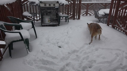 Dog Eating Snow Flakes During Storm
