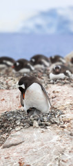 Antarctica gentoo penguin colony