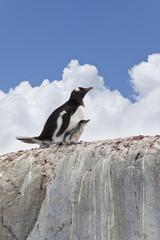 Antarctica gentoo penguin with baby on nest