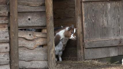 Ziegem laufen aus dem Stall