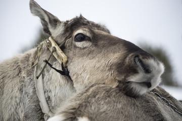 Reindeer closeup.