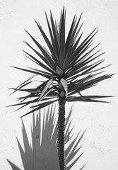 Yucca plant over a white wall with shadow. Spain
