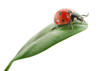 ladybird on green leaf on white